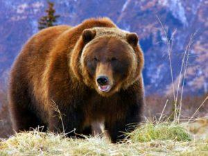 Медведь-гризли