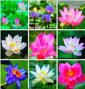 лилий в цвете