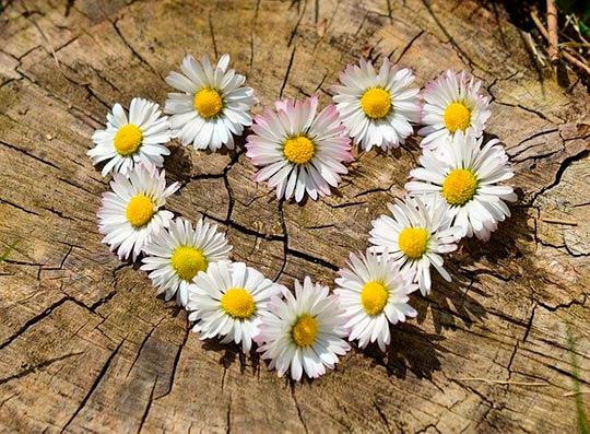 цветы сердце