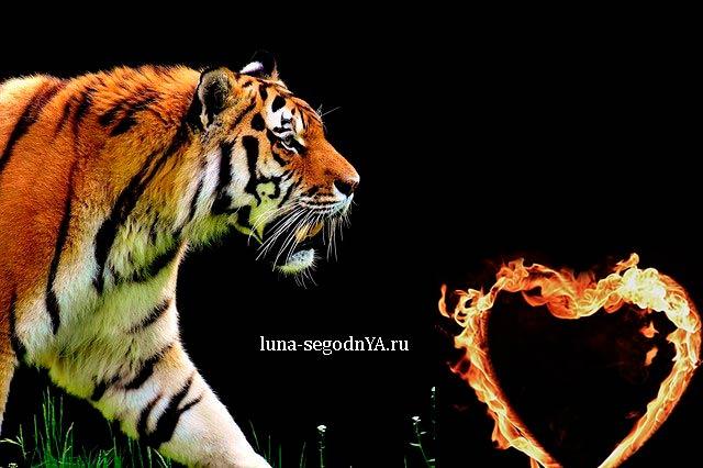 Тигр сердце(
