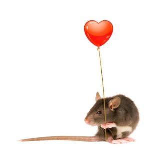 сердце крысы